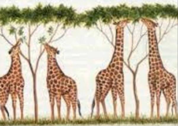 Imagen de jirafas de cuello largo y no tanto que les permite alcanzar las hojas de un árbol